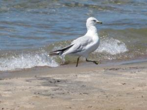 Image of seagull walking along the lake's shore