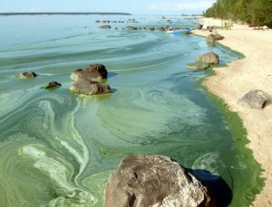 image of blue-green algae washing up on beach