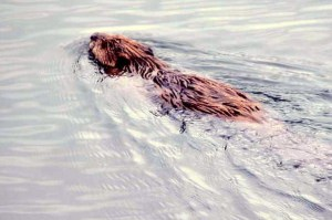 image of beaver swimming