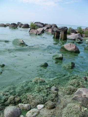 image of blue-green algae covering rocks at beach