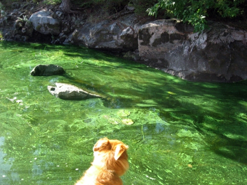 image of dog looking at water filled with blue-green algae