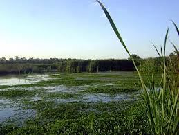 image of green vegetation arund a marshy area