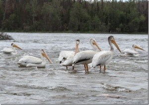 Pelicans on Lake Winnipeg, photo credit The Wilderness Classroom