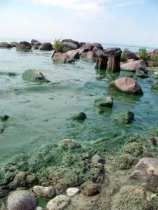 Blue-green algae on the shoresof Lake Winnipeg