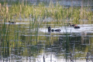 Wetland, photo courtesy of Ducks Unlimited Canada