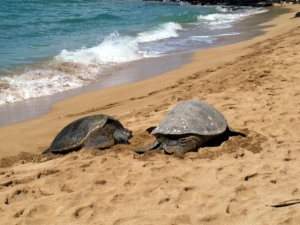 Sea Turtles on Maui beach 2014, photo courtesy of J. Gosselin