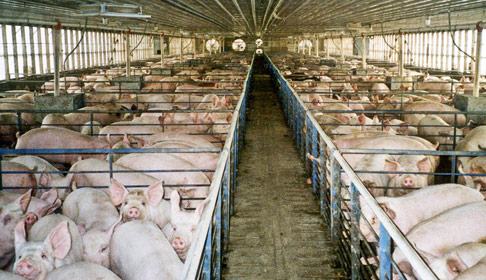 pigs in large barn